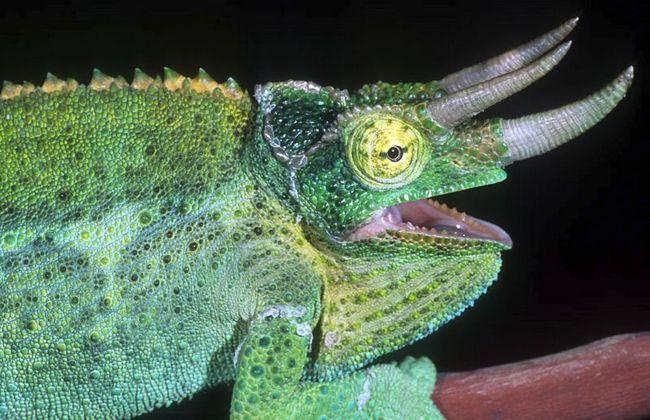 Tricorn Kameleon Jacksona