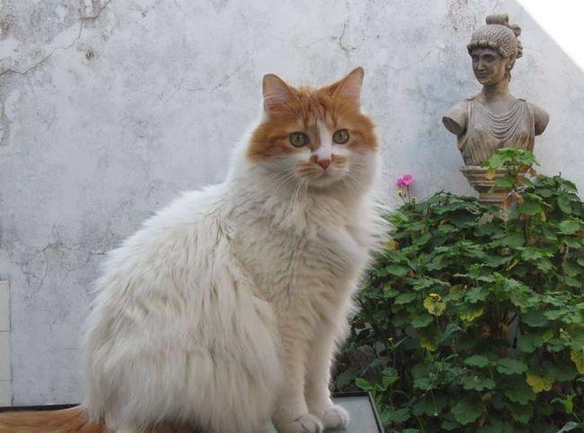 Turecki van koty