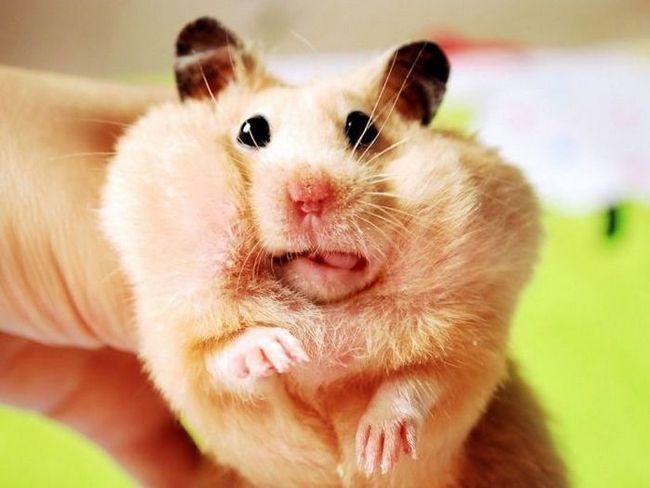 Niesamowite fakty maleńkich chomików