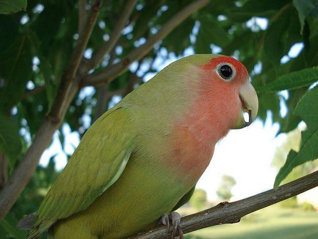 Niesamowite fakty dotyczące papug z romantycznym nazwa gołąbków