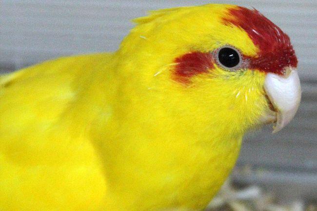 Kakarik żółty z czerwonym czole i wokół oczu oznakowań