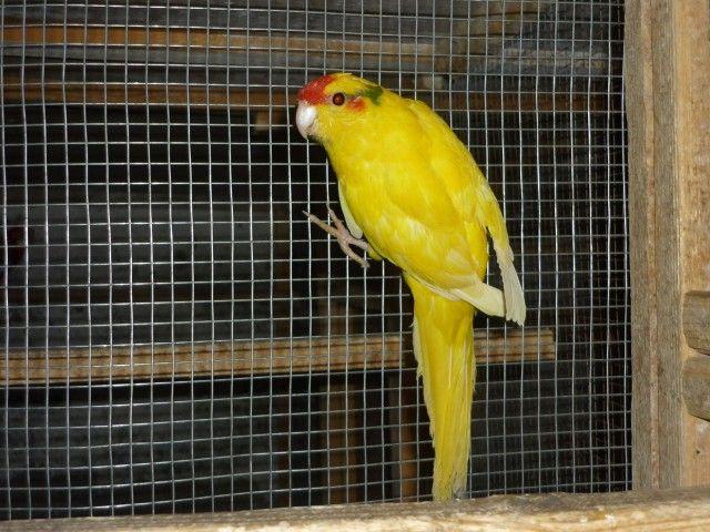 Żółty krasnoloby Kakarik siedzi na bocznej ściance obudowy