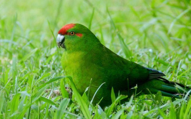 Nowa Zelandia zielona papuga z czerwoną głową na tle trawy
