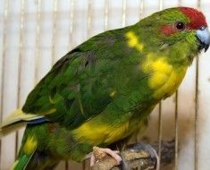 Nowa Zelandia papuga siedzi na grzędzie w klatce