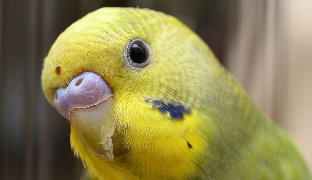 Lekcje śpiewu dla papużek falistych