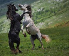 Wspaniałość rodzi się w wolności - wszystko o dzikich koni