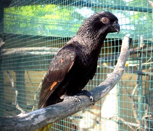 Czarny ptak w klatce na gałęzi