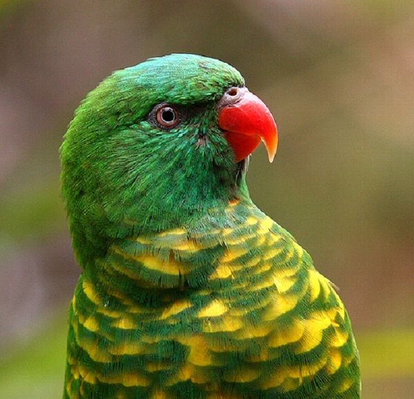 Cute zielony lorikeet papuga
