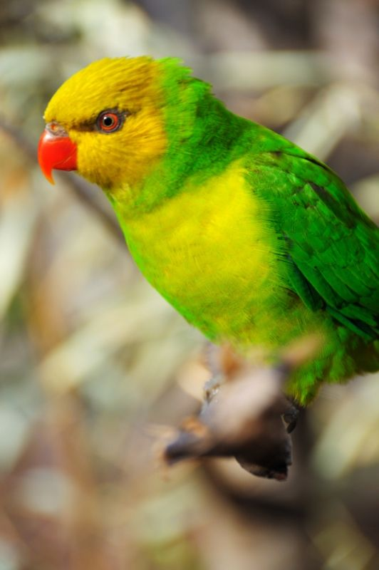Żółto-ptaków siedzi na gałęzi