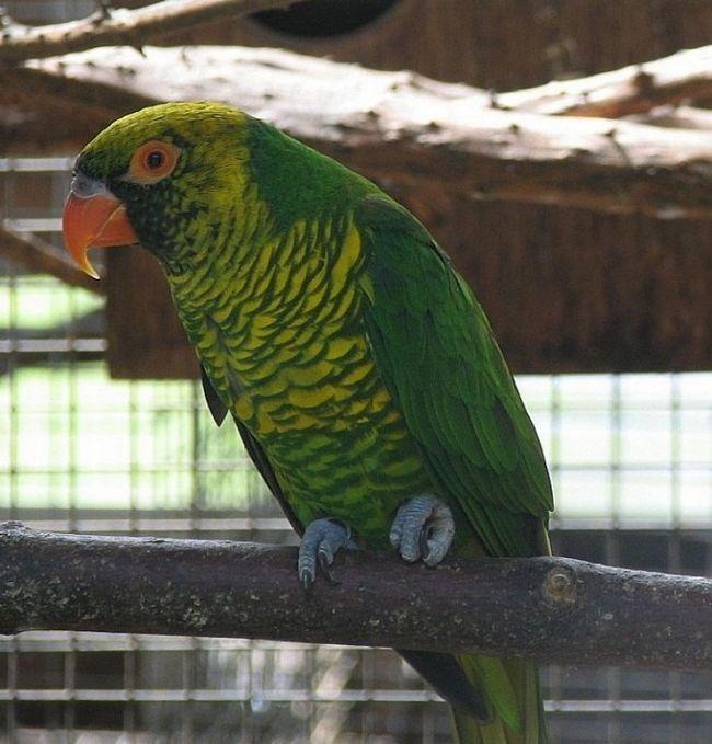 Żółto-zielony lorikeet na gałęzi