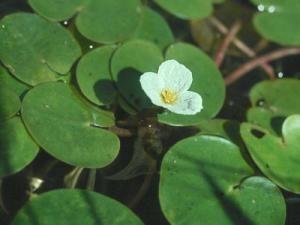 Vodokras aba (żabiściek pływający, Linne). -