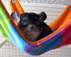 zwierzę śpi w hamaku