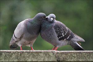 Wszystkie gołębie i jak mnożyć