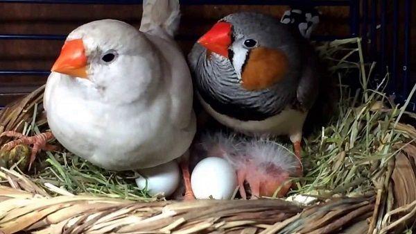 Wszystko o pięknych ptaków bezpretensjonalny zięby zięba rodzina - zięby
