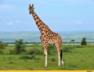 Wszystko żyrafa: niesamowite fakty o zwierzętach