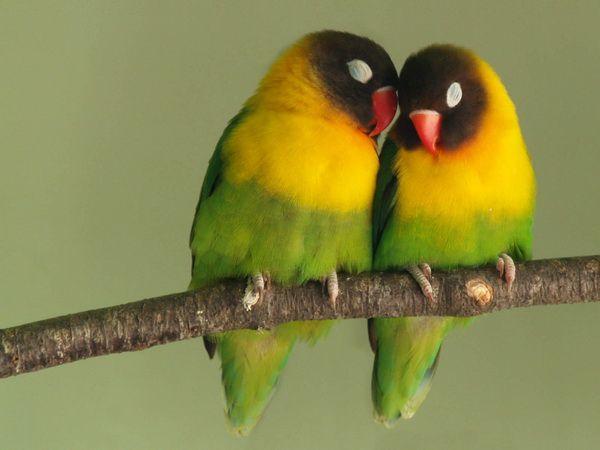 Każdy z mieszkańców Madagaskaru - papugi Lovebird