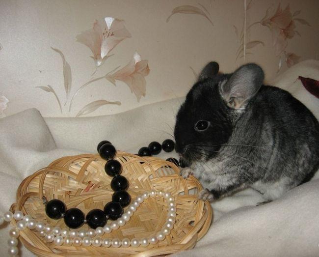 Chinchilla siedzi obok kosza z naszyjnika