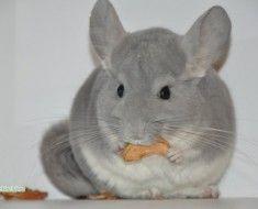 Chinchilla jeść suszone owoce