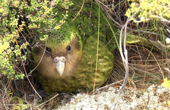 Goście zagraniczni, którzy nie potrafią latać: wszystko o Kakapo papugi