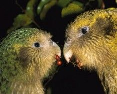 Dwie sowy jagody papuga żywieniowe