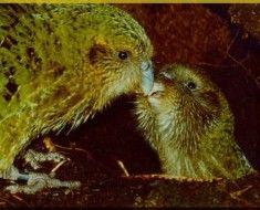 Samica Kakapo feed laska
