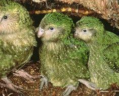 Kilka papuga sowa