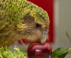 Sowa papuga jedząc jabłko