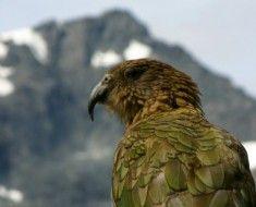 Sowa papuga w górach