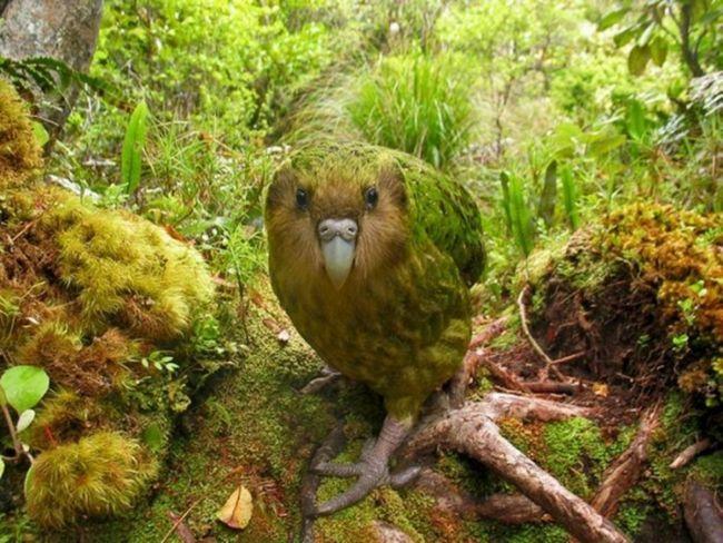 Sowa Papuga w naturze