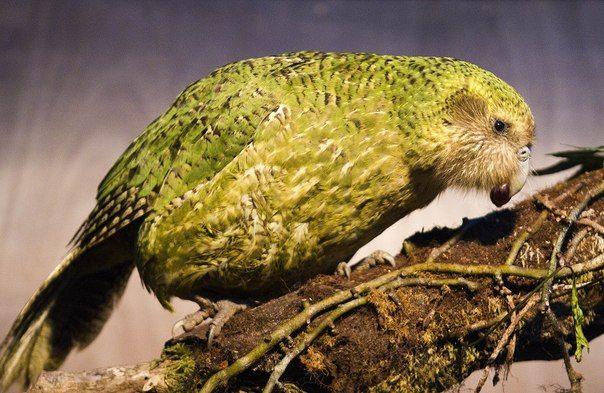 Kakapo jedzenie jagód