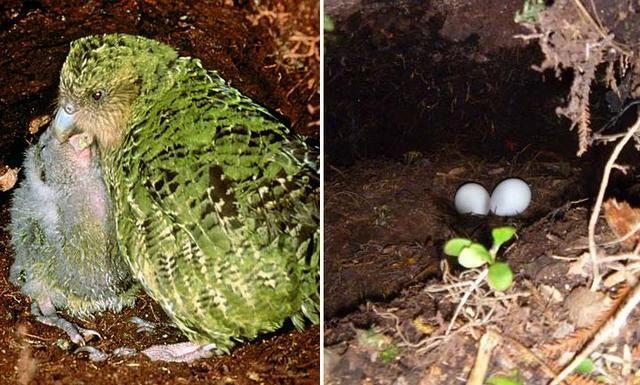 Samica papuga sowa i jajka