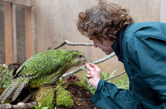 Sowa papuga jedzenie z rąk
