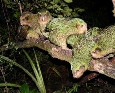 Kilka Kakapo siedzi na gałęzi