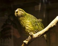 Kakapo siedzi na gałęzi