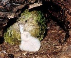 Samice sowa papugi piskląt