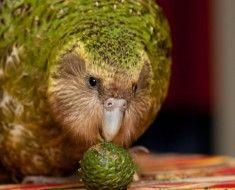 Sowa papuga jedzenia