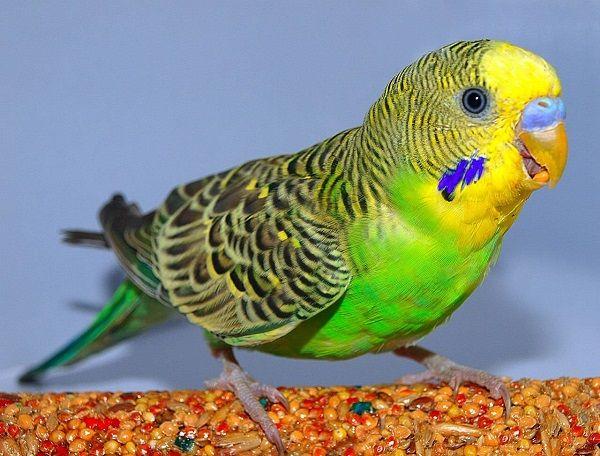 Zdrowe papuga - szczęście ptaków i jego właściciela