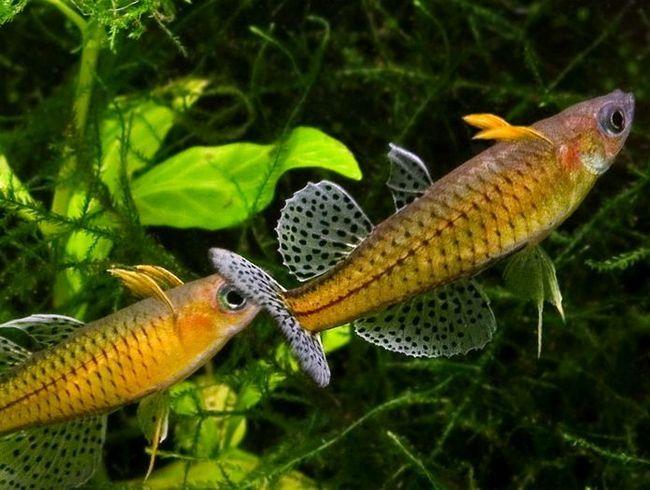 Ryby z dalekiej Australii - psevdomugil Gertrude