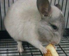 Chinchilla jedząc jabłko